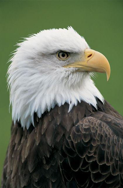 ...степной орел - крупная хищная птица (до 75 см в длину), с размахом...